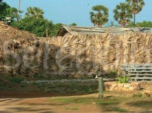 houses with palmyrah thatche fences, Jaffna