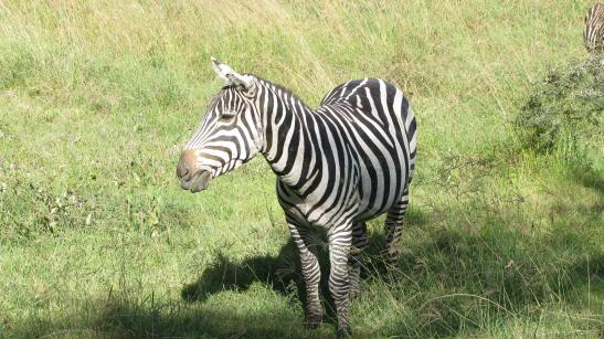 Fig2_Zebra